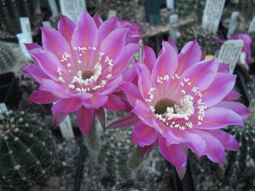 cactusi-03