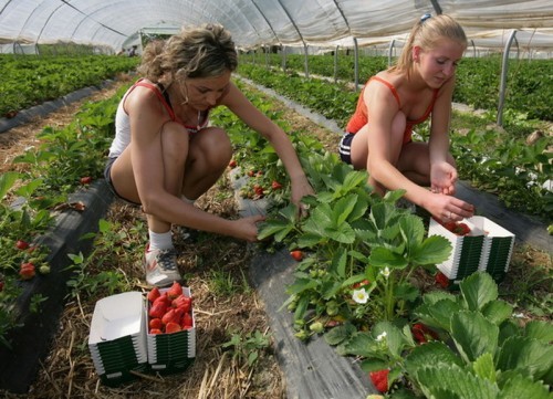GERMANY-AGRICULTURE-HARVEST-STRAWBERRIES