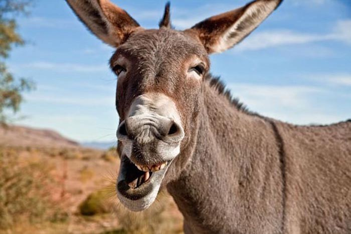 PIC BY MICK GALLAGHER / CATERS NEWS - (Pictured A Wild Burro in Red Rock Canyon National Conservation Area) Whats so funny? This mule clearly found something hilari-ASS when he got up close to one photographer. The wild burro - which bears a striking similarity to Donkey from the Shrek movies - was captured on camera by wildlife photographer Mick Gallagher - who spent months trying to get close to the group. And when one animal finally decided to pose for the camera, it seems he found something to smile about - with hilarious results. Mick, 42, who has been working as a professional photographer after he was made redundant from his marketing job during the economic downturn, has tried to build a bond with the animals, which roam in the Red Rock Conservation Area, Nevada. SEE CATERS COPY.