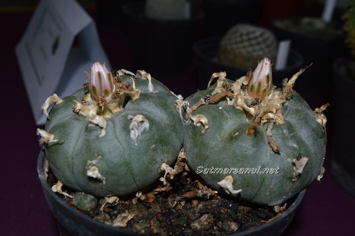 cactusi15