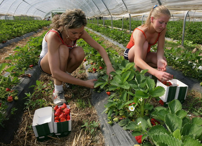 Seasonal workers crop strawberries 23 April 2007 at a plant in Oberkirch-Zusenhofen, southern Germany. With a crop of nearly ten tons per season, the region of Mittelbaden is one of Germany's largest strawberry growing areas.    AFP PHOTO    DDP/MICHAEL LATZ    GERMANY OUT