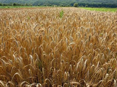 Ce spun cei mai mari fermieri ai ţării despre recolta din acest an