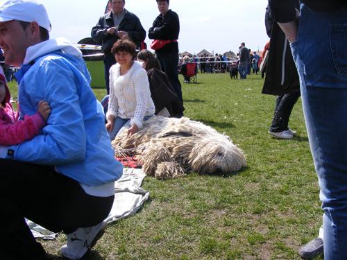 """Frumuseţe canină pe stadionul """"Someşul"""" din Satu Mare"""