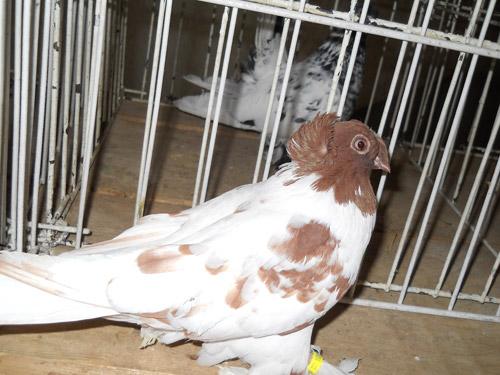 Găini, iepuri și porumbei, promoția 2011, la Casa de Cultură a Sindicatelor