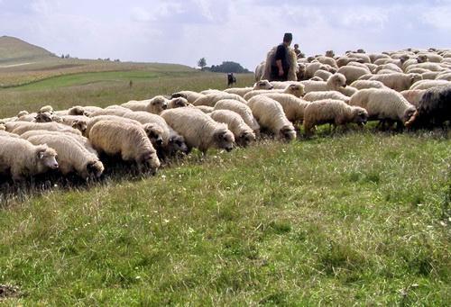 Măsuri pentru protejarea culturilor agricole împotriva distrugerilor provocate de turmele de oi