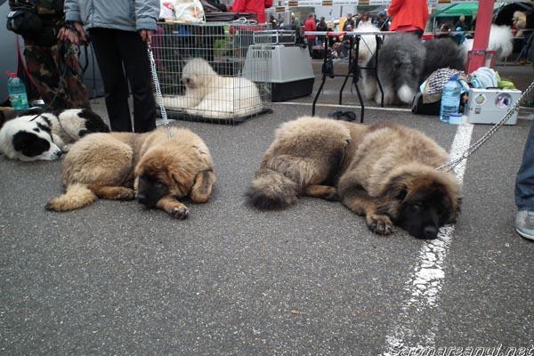 """Peste 2.200 de câini înscrişi la """"International Dog Show"""" Satu Mare"""