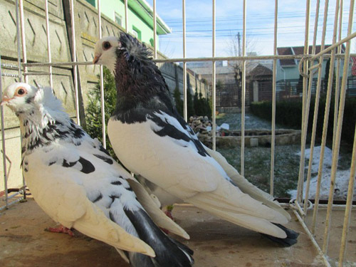 Rasa de porumbei de Satu Mare revine la modă, după 40 de ani de la dispariţie