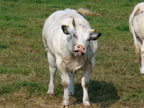 Vacă turbată diagnosticată în Bârsău de Sus