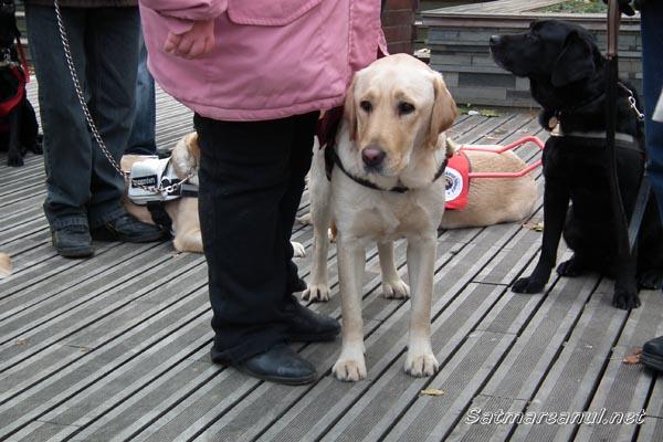 Câini dresaţi pentru sprijinul nevăzătorilor (galerie foto)