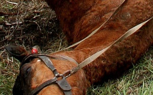 Cal omorât într-un accident de circulaţie