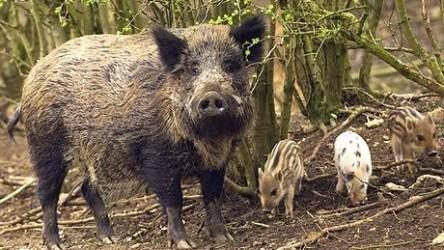 Proprietarii culturilor agricole distruse de animalele sălbatice rămân cu paguba