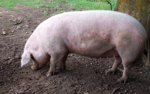 In județul Satu Mare, pesta porcina evoluează în 12 localitati