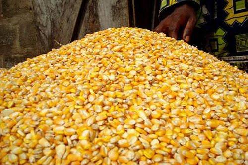 Careian prins cu 43 de tone de porumb în județul Bihor
