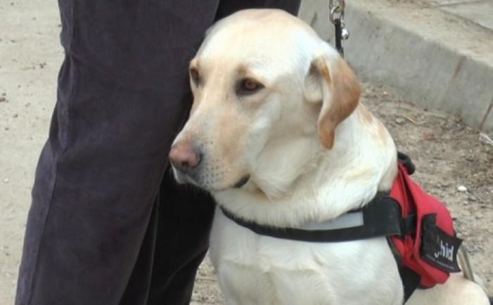 Labradorul Maia din Satu Mare, sprijin pentru un nevăzător din Pașcani