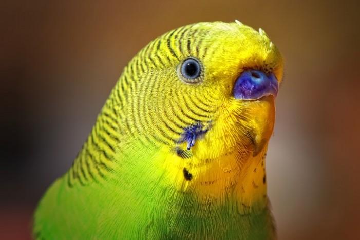 Hoț de papagali, cercetat de polițiști