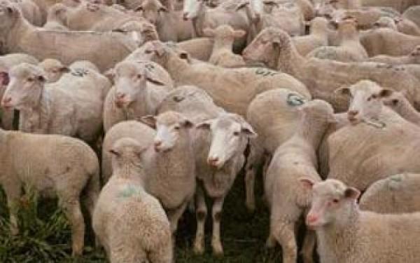 S-a ascuns la o stână de oi