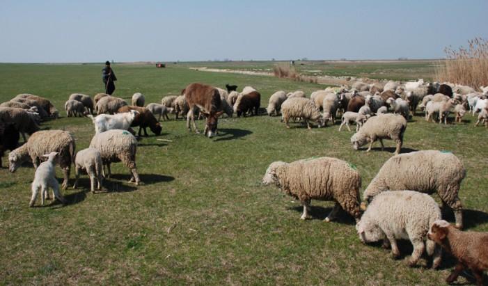 Un cioban a ajuns la Urgențe după ce a fost mușcat de un miel