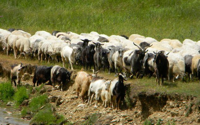 Bătaie între doi ciobani la o stână din Odoreu