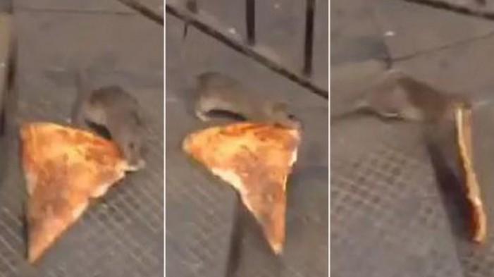 Șobolan filmat, în timp ce încerca să fure o felie de pizza (Video)