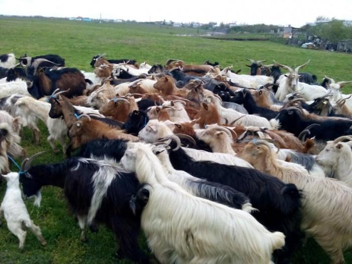 S-au certat din pricina unei turme de capre