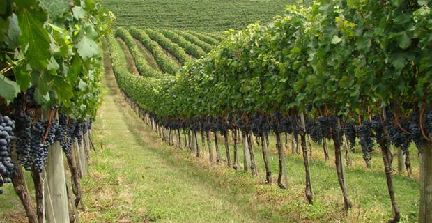 Bani europeni pentru viticultori