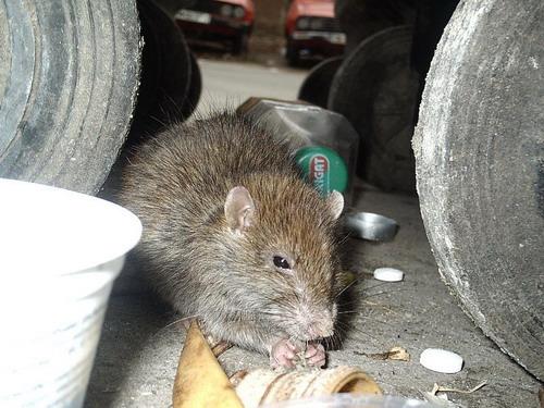 Copil mușcat de șobolani, internat la Boli Infecțioase