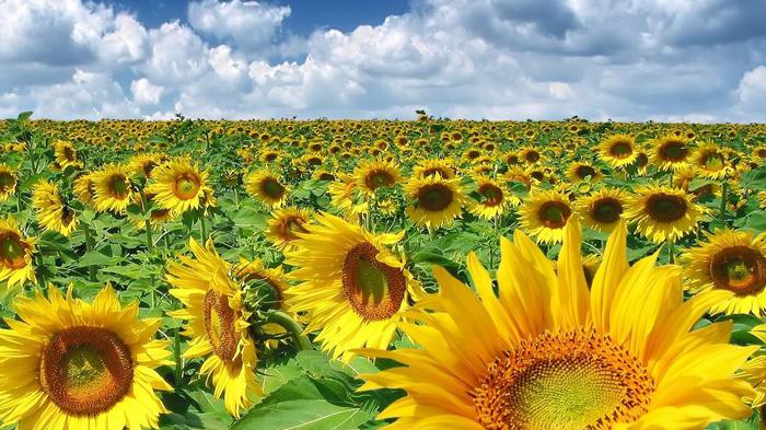 România ocupă primul loc în UE la producția de floarea-soarelui