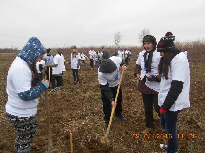 Plantări de puieți de plop, în localitatea Apateu (Foto)