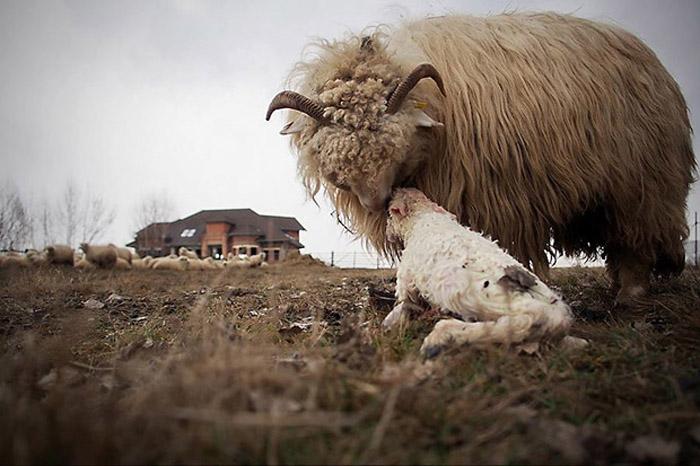 """Fotografii marca Remus Țiplea: """"Sfârșitul artei oieritului în Transilvania de Nord"""" (Galerie foto)"""