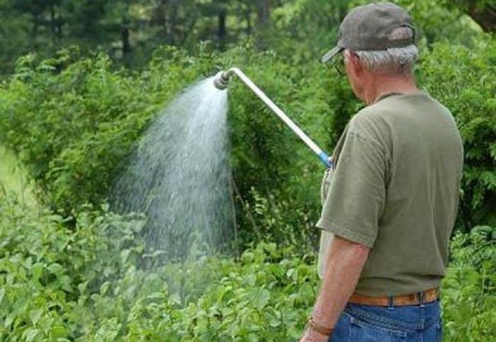 Tratamente fitosanitare la arbuști și trandafiri