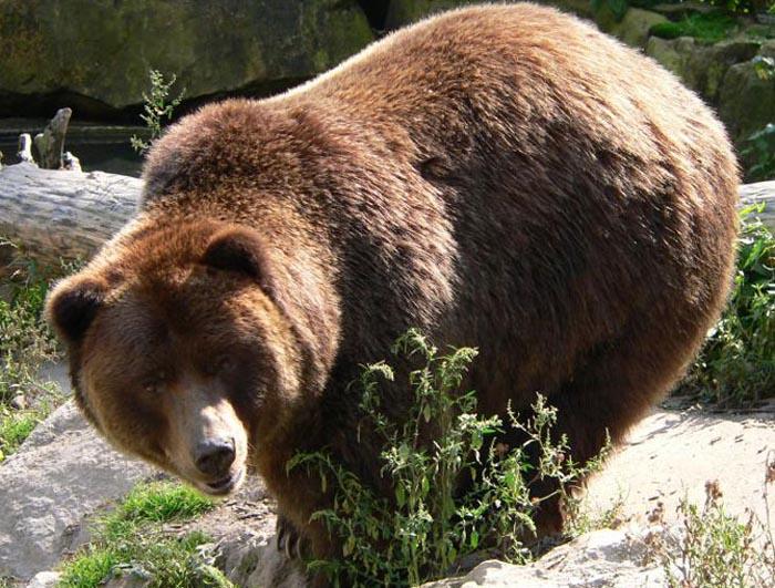 Avem șapte urși în județul Satu Mare