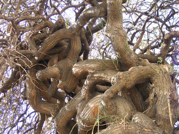 Copacul răsucit din Satu Mare este în pericol