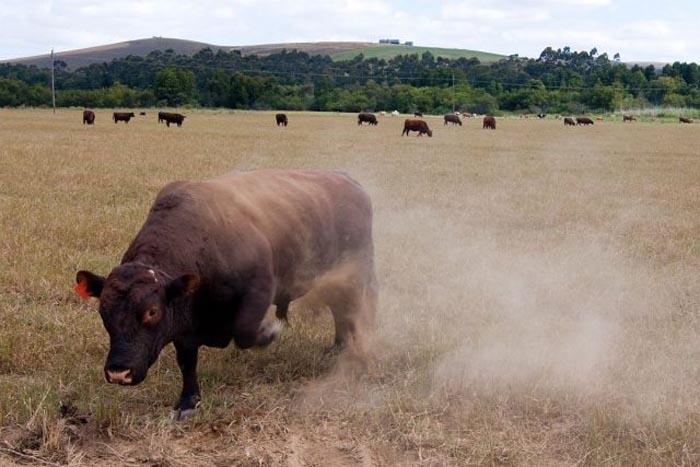 Ciurdar, omorât de un taur