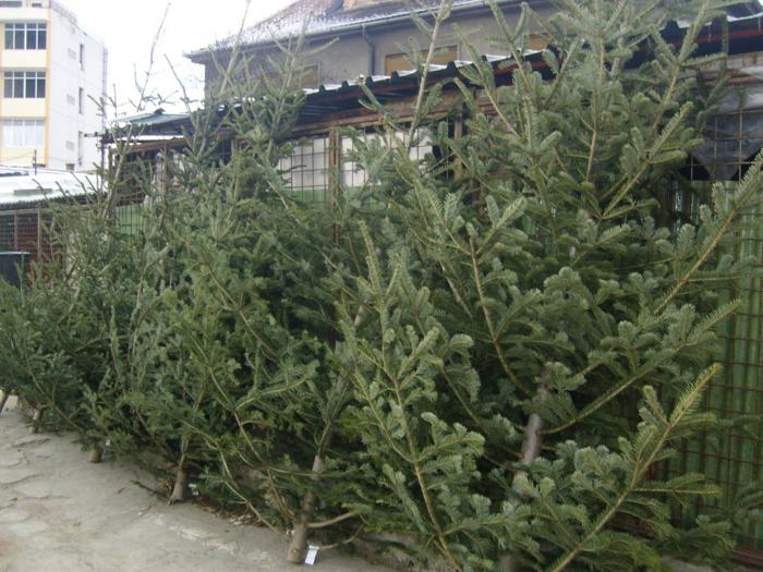 Peste 160 de brazi de Crăciun, confiscați