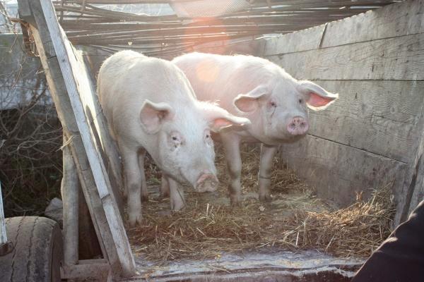 Satu Mare ar putea scăpa de pesta porcină africană