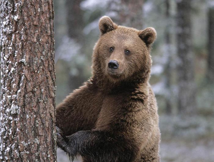 Urși, lupi și pisici sălbatice în pădurile din județ. Ce spun specialiștii