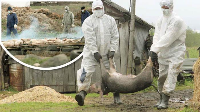 Focare de pesta porcina in mai multe localitati din judet