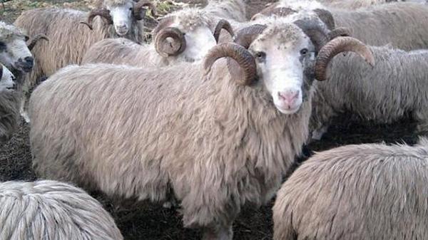 I-au furat berbecii de la fermă