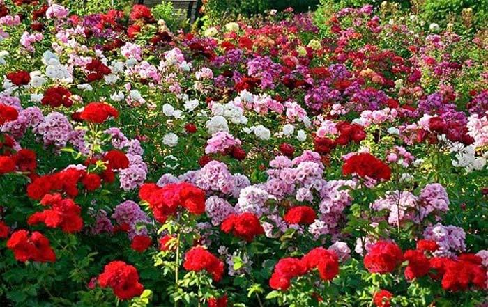 Îngrijirea trandafirilor. Vezi câteva sfaturi