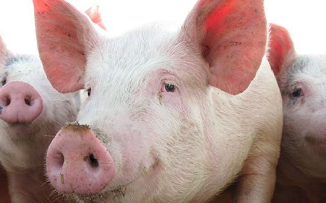 Focar de pesta porcina la granița judetului Satu Mare !