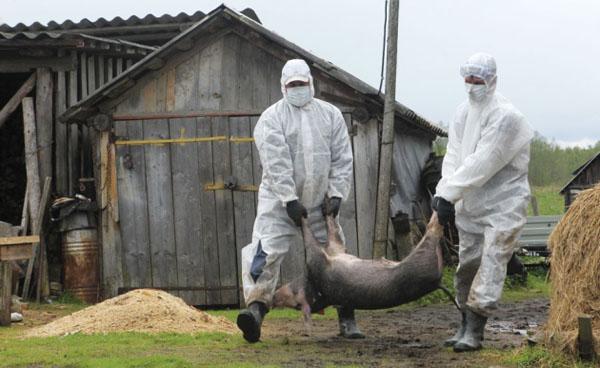 Focar de pestă porcină africană în județul Satu Mare. Vezi detalii