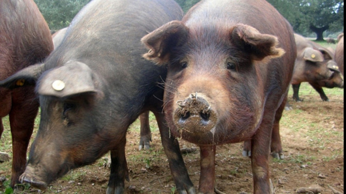 22 de focare de pesta porcina in judet