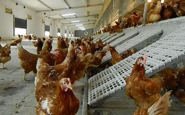 Peste 10.000 de găini, confiscate. Vezi motivul