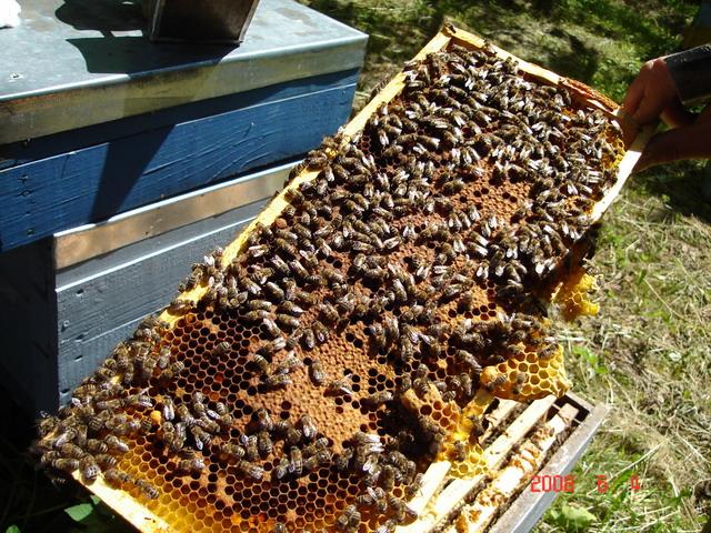 Focar de boală la albine. S-a intervenit de urgență