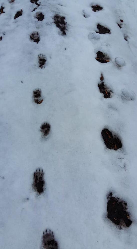 Gata cu hibernarea ! Urme de urși în munții din zona Oașului