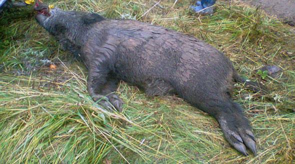 Un nou caz de pesta porcina africana in judetul Satu Mare