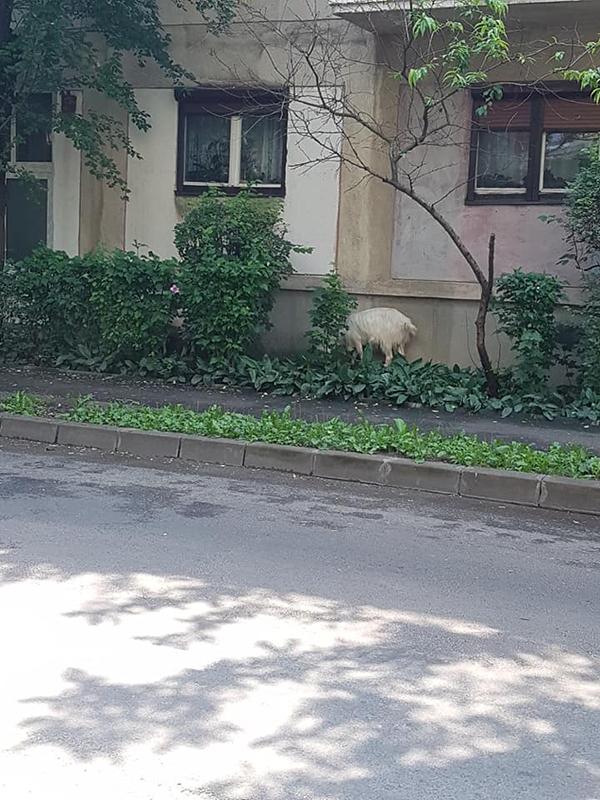 Capre la plimbare, intr-un cartier din Satu Mare (Foto)