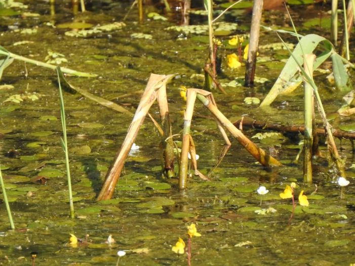 """Planta ocrotita de lege, descoperita pe un canal din judet. Este un """"vanator"""" desavarsit (Foto&video)"""