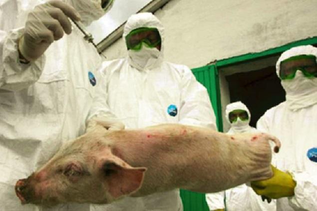Cinci focare de pesta porcina in judetul Satu Mare