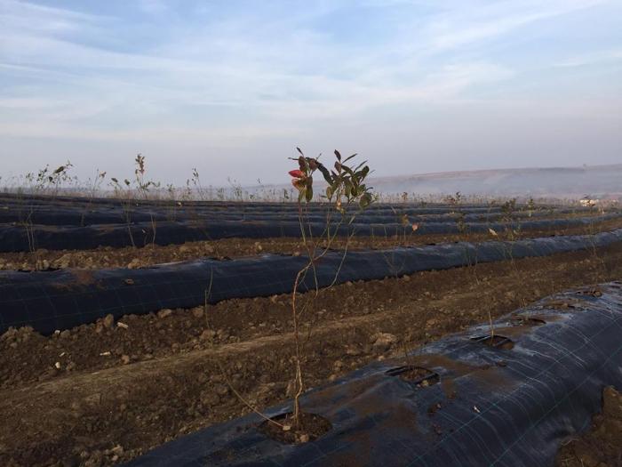 Plantatii de afine in Comuna Homoroade. Investitie de milioane de euro (Foto)